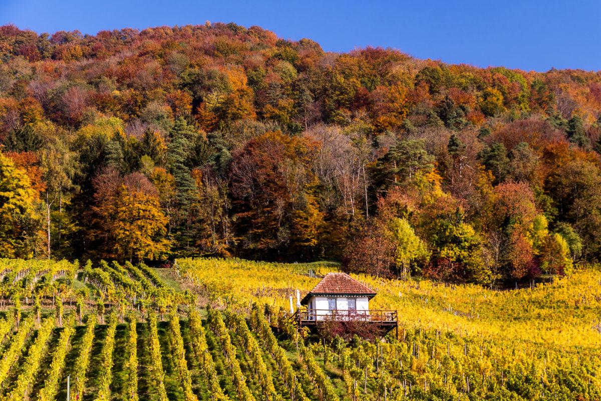 Im Rebberg nahe Freienstein (ZH), einem der grössten Weinanbaugebiete des Kantons